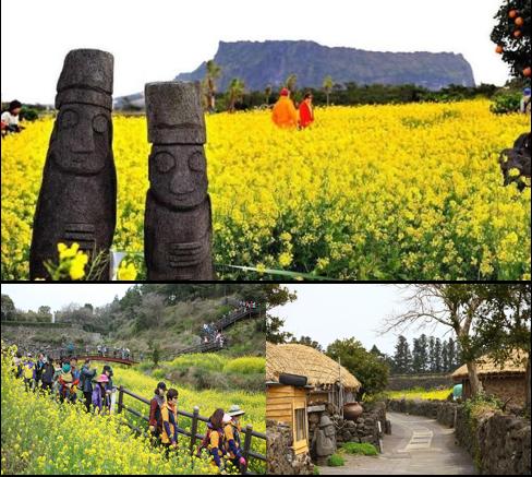 Đảo Jeju - mùa hoa cải